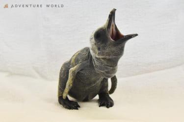 和歌山アドベンチャーワールドにキングペンギンの赤ちゃん誕生♡