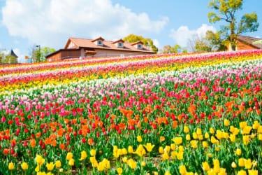 10万本のチューリップが彩る♡「さかいチューリップフェスタ」4月開催